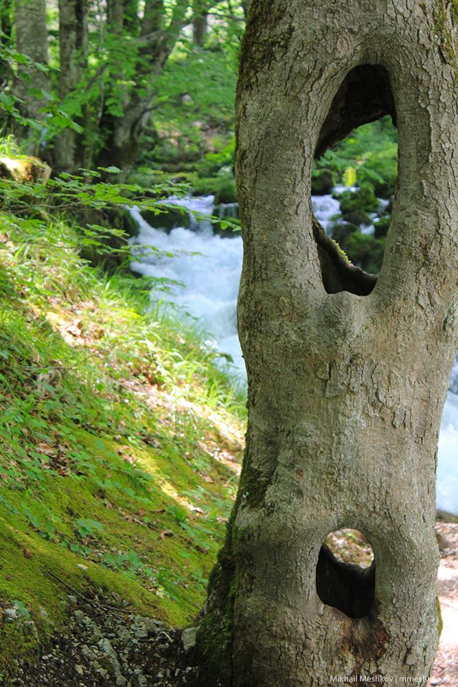 Дерево с дуплом, Черногория